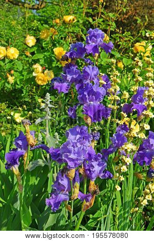 flower bed with violet irises and yellow roses at the Rose Garden, Hyde Park, London