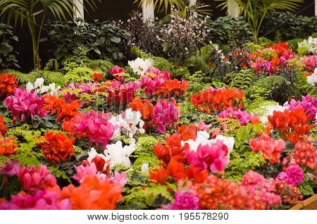 Flowering Cyclamen plants and ferns in a greenhouse