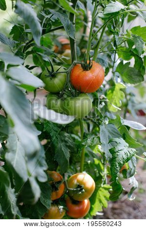 Tomato in a hothouse growing organic. Heathy food