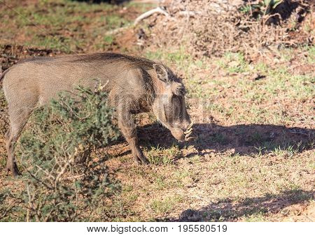 Warthog is searching for food at Addo Elephant Park in South Africa