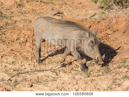 Warthog Is Searching For Food At Addo Elephant Park