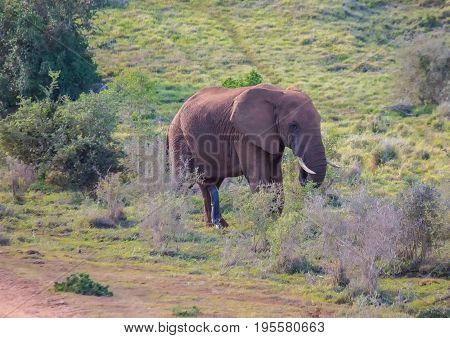 Wild Living African Elephants At Addo Elephant Park In South Africa