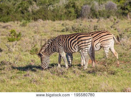 Wild Living Plains Zebras At Addo Elephant Park In South Africa