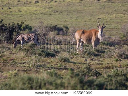 Wild Living Eland At Addo Elephant Park In South Africa