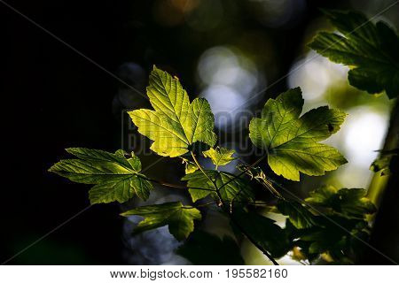 The leaves of the tree in the backlight. Background.