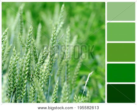 Close View At The Young Fresh Green Wheat With Palette Color Swatches