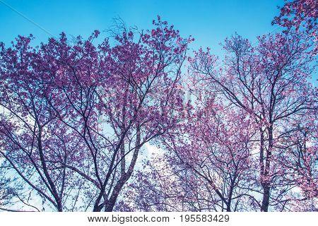 background nature Flower Valentine. Prunus cerasoides. sakura