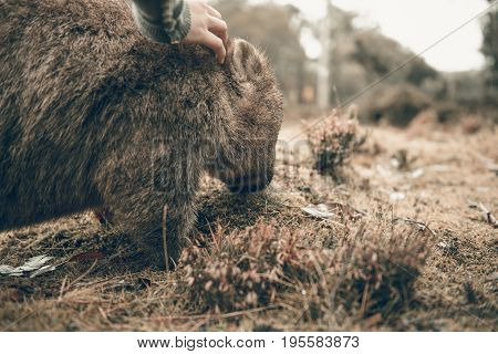 Adorable Large Wombat During The Day Looking For Grass To Eat