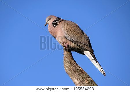Pigeon bird perched on a tree branch against a blue sky close-up