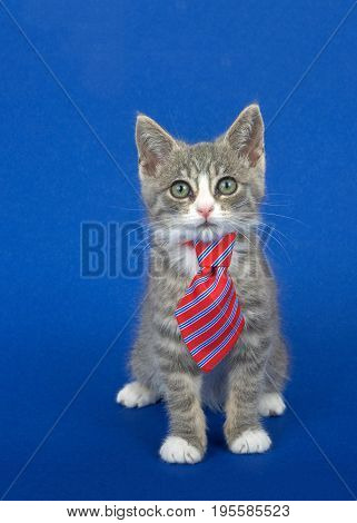 Gray and white kitten wearing a red and blue striped tie sitting on a blue background looking at viewer. Vertical format