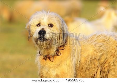 angry white sheep dog looking at the camera image taken near the farm