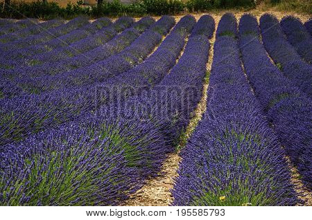 Panoramic view of lavender flowers fields under sunny blue sky, near the village of Valensole. Located in the Alpes-de-Haute-Provence department, Provence region, in southeastern France