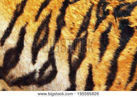 close up of tiger beautiful leather black stripes on orange and white background natural real animal pelt for your design colorful contrasts