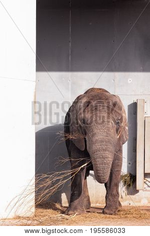 An african elephant having lunch at the zoo of Tallinn Estonia. The bull has a sunny spot by the wall and he's enjoying the warm spring day.