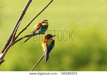 couple of european bee eaters standing on twigs near the colony ( Merops apiaster )
