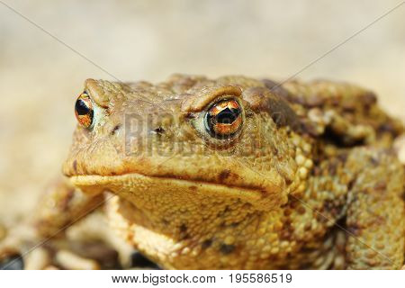 european common brown toad portrait ( Bufo macro image )