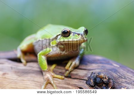 cute green european tree frog standing on a stump ( Hyla arborea )