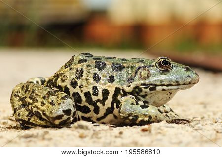 full length image of colorful marsh frog ( Pelophylax ridibundus )