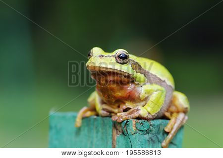 full length image of european green tree frog standing on wood ( Hyla arborea )