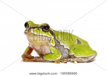 european green tree frog close up on white background for your design ( Hyla arborea )