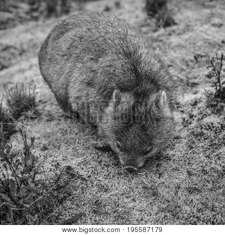 Large adorable wombat during the day looking for grass to eat in Cradle Mountain, Tasmania