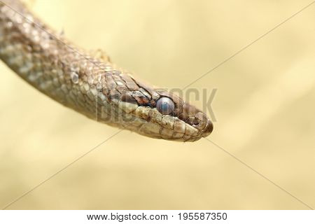 portrait of a smooth snake ( Coronella austriaca )