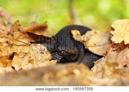 nikolsky black viper hiding amongst faded leaves natural habitat ( Vipera berus nikolskii )