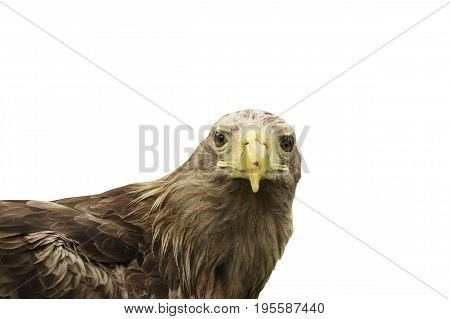 portrait of white tailed eagle isolated over white background ( Haliaeetus albicilla )