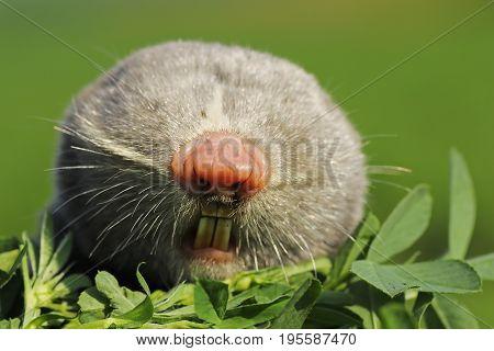 portrait of lesser mole rat ( Spalax leucodon )