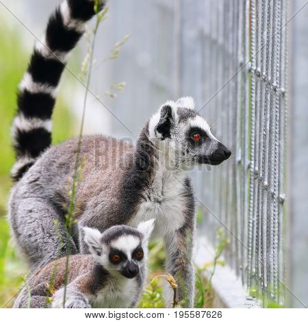 ring tailed lemur family mother and youngster ( Lemur catta )