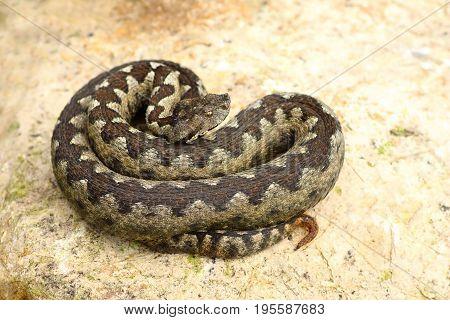 sand viper basking on a rock ( Vipera ammodytes the most poisonous european snake )