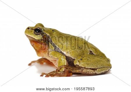 studio shot of european tree frog over white background ( Hyla arborea )