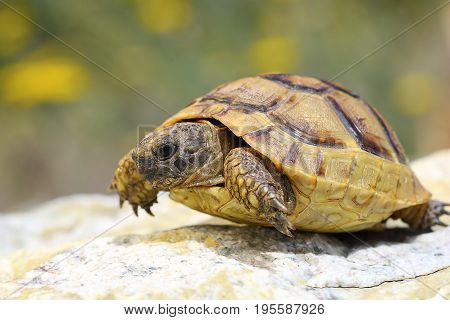 Testudo graeca walking on a rock in natural habitat adult animal ( spur-thighed or greek tortoise )