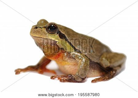 tiny green tree frog over white background ( Hyla arborea ) studio image with shadow