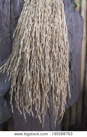 Stack of rice sheaves drying traditional harvesting in Thailand
