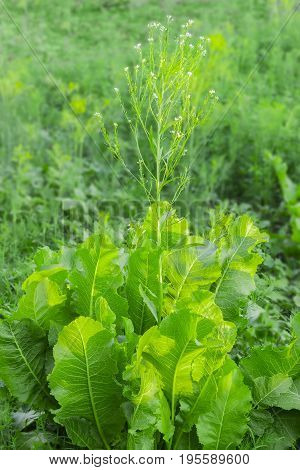 Plant of the flowering horseradish with leaves and stem with flowers on a field