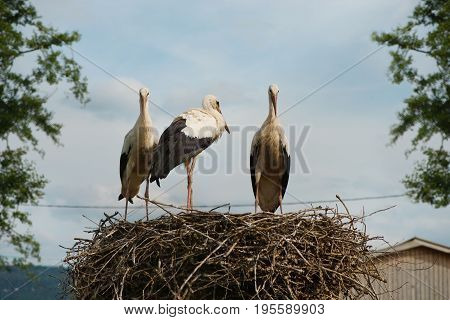 Group of white storks in a nest. Alsace France