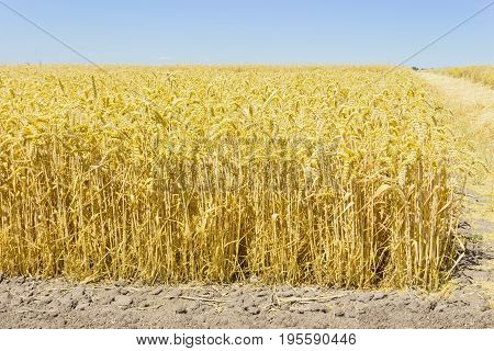 Edge of the field of the ripe wheat on a background of the clear sky at summer day