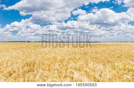 Field with ripening barley on the background of the sky with clouds at summer day