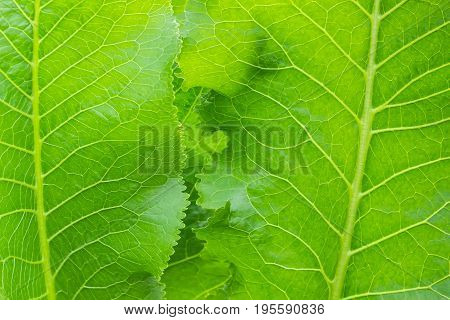 Background of a fragment of several leaves of the horseradish closeup