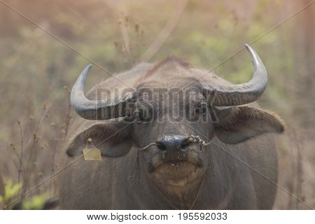 buffalo or domestic Asian water buffalo with selective and soft focus.