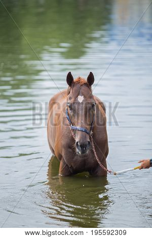 The chestnut horse bathing in a lake