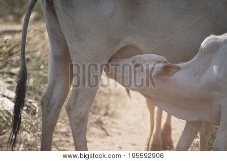 A calf are eating milk from its mother's breast.
