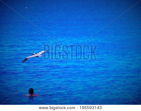 Pelican flying close to person swimming in the sea