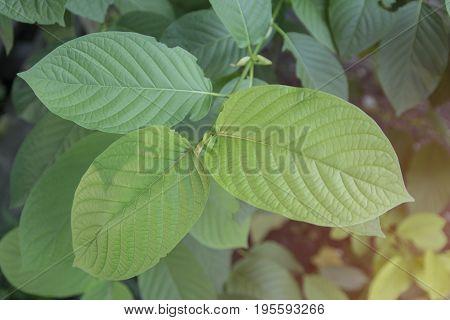 Mitragyna speciosa Korth. Havil. kratom a drug from plant to a category 5 in thailand