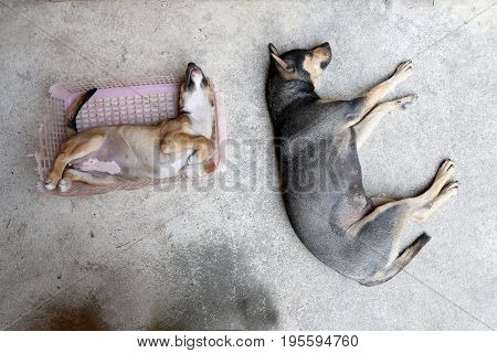Little Puppy Dog Sleeping In Old Pink Basket On Cement Floor With Mother Dog.