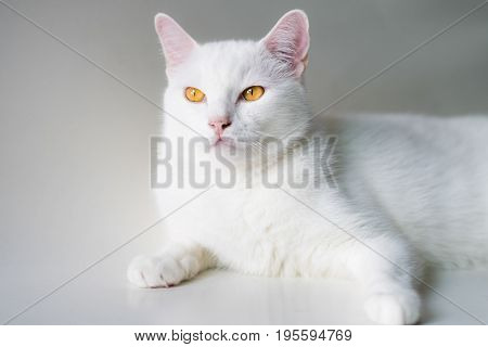 White cat the eye look like the amber.