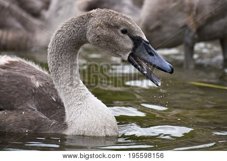 Beautifully young swan (Cygnus olor) Animals in nature.