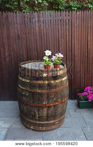 Flower pots with Petunia flowers on old barrel with rusted rims.