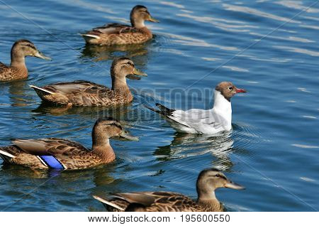 Black-headed gull, bird. Adult bird in summer, July. Black-headed gull swimming surrounded mallards.